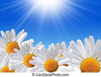Spring beauty - Beautiful, daisy flowers on blue sky with...