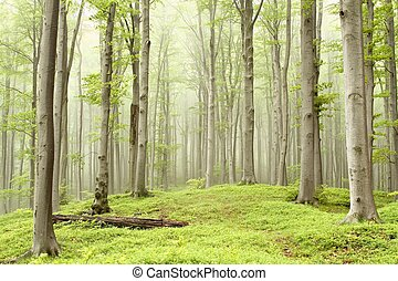 Spring beech forest in the fog - Spring beech forest on the ...
