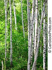 Spring birch branches