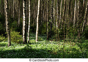 Spring Birch Forest With Windflowers