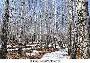 Spring. Birch Grove. - Spring birch grove