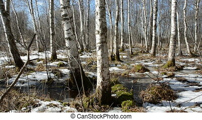 Spring birches forest and snow