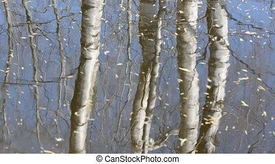 spring birches trunks reflections