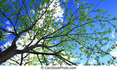 Spring bird cherry tree against blue sky.