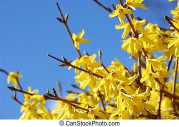 Spring bloom forsythia on the background of bright blue sky