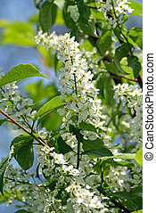 Spring blooming bird cherry tree