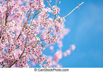 Spring blooming cherry blossom, Pink flower