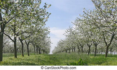 Spring, blooming cherry fruit trees