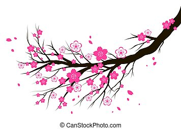 Spring blooming cherry or sakura blossom branch.