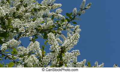 Spring blooming cherry orchard on blue sky background