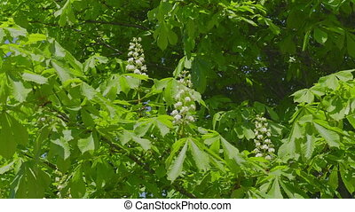 Spring blooming chestnut branch on wind tree green leaves.