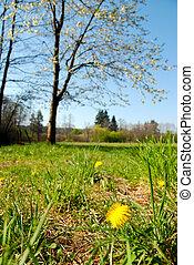 Spring blooming dandelion