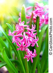 Spring blooming hyacinth in butchart gardens