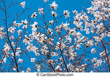 Spring blooming magnolia tree