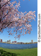 Blooming tree by the Charles river in Boston