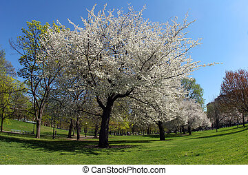 Blooming tree in the park