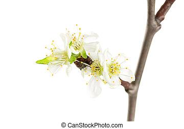 Spring blooming twig