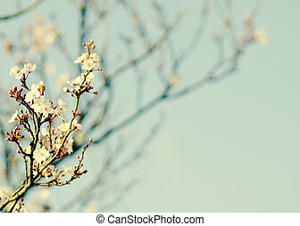 Spring blooming white cherry brunch on blue sky background