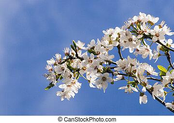 Spring Blossom 03 - Spring Blossom on a Plum Tree, Haumoana...
