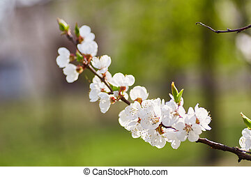 Spring blossom background. Beautiful nature scene with blooming tree and sun flare.
