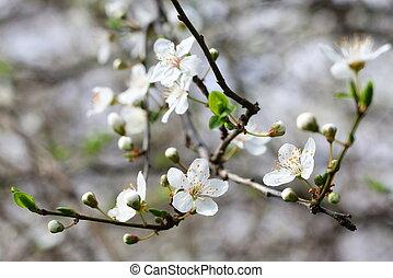 Spring blossom background, plum tree