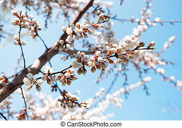 Spring blossom flowers. White apricot  flowers covering branches against sky