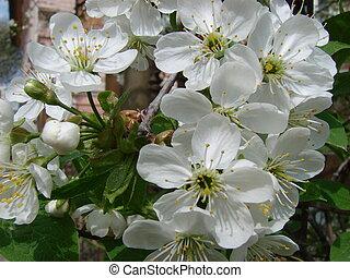 Spring blossom of cherry tree white flowers