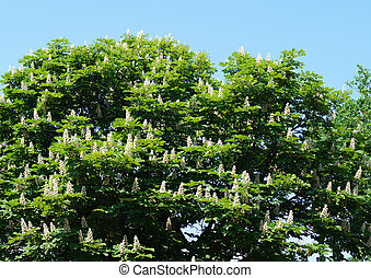 Spring blossom of the chestnut on background blue sky