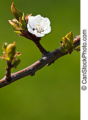 Spring - blossoming apple tree against lovely green background