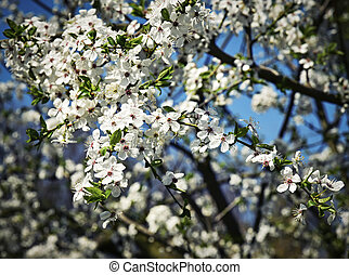Spring blossoming fruit tree crown