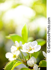 Spring Blossoming Pear Flowers on Bright Blurred Background...