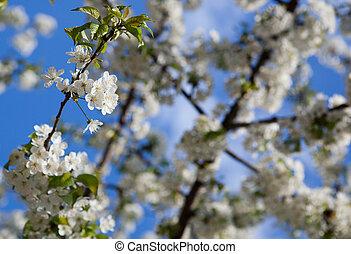 spring - blossoming tree against lovely blue sky