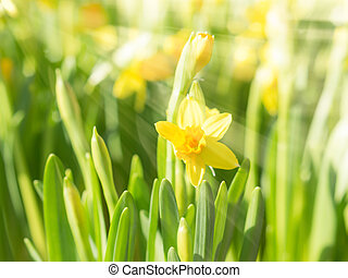 Spring blossoming yellow daffodils narcissi flowers with bright
