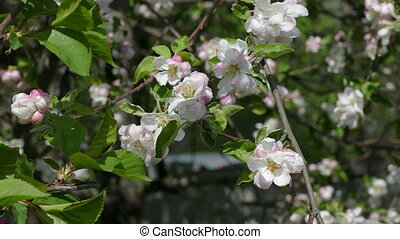 Spring blossoms apple branch flower - apple tree branch...