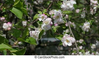 Spring blossoms apple branch flower - apple tree branch...