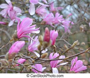 Spring Blossoms of a Magnolia