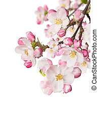 Spring blossoms on white background