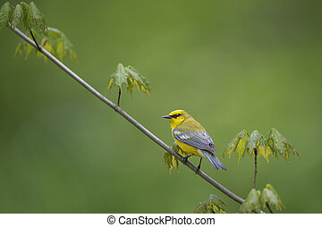 Spring Blue-winged Warbler - A Blue-winged Warbler perches...