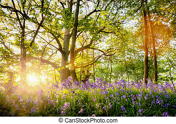 Spring bluebell forest with beautiful sunrise in Norfolk -...