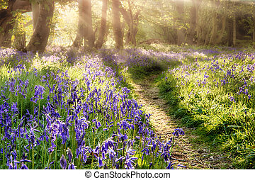 Spring bluebell path through a magical forest. Dawn sunlight...