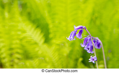 Spring bluebells growing in English