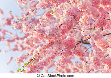 Spring border background with pink blossom, close-up.