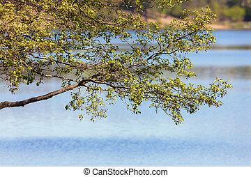 spring branch of an alder