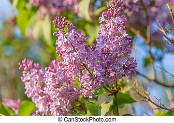 Spring branch of blossoming lilacs. Violet florets of lilac spring in garden. Blue sky. Nature wallpaper blurry background.