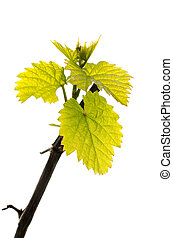 Spring branch of grape vine with fresh green leaves isolated on white background