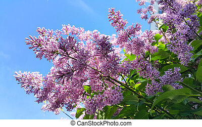 Spring branches with blossoming lilac flowers