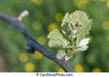 Spring Buds on a Grape Vine