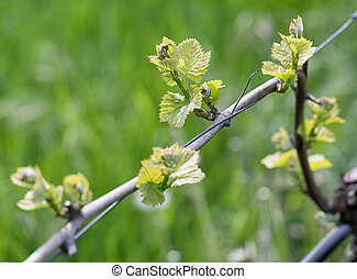 Spring buds sprouting on a grape vine