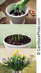 Spring bulbs flowers stages of blooming and growing in pot. Yellow tulips, hyacinths, blue muscari with watering can
