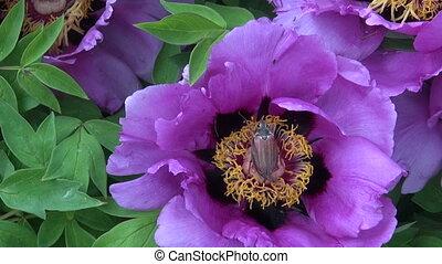 spring chafer maybug on peony - spring chafer maybug beetle...